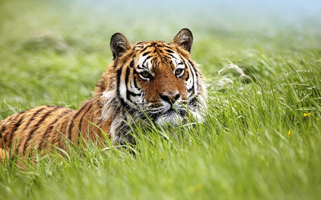Amazing Siberian Tiger Hd Wallpaper Download Cool Hd Wallpapers Here