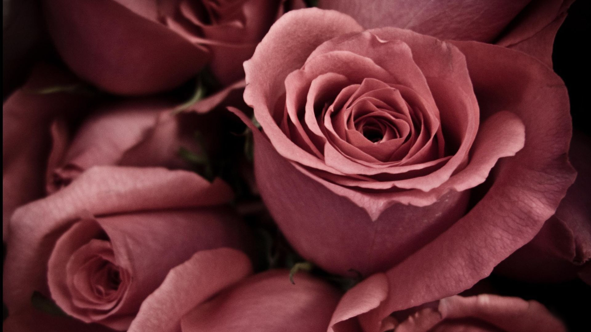 beautiful roses wallpaper | download cool hd wallpapers here.