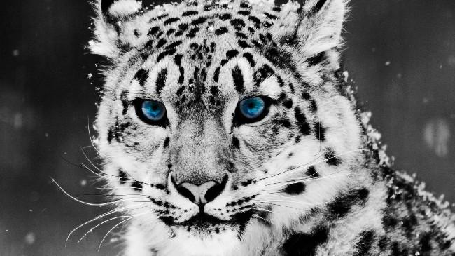 Blue Eyes White Tiger Wallpaper