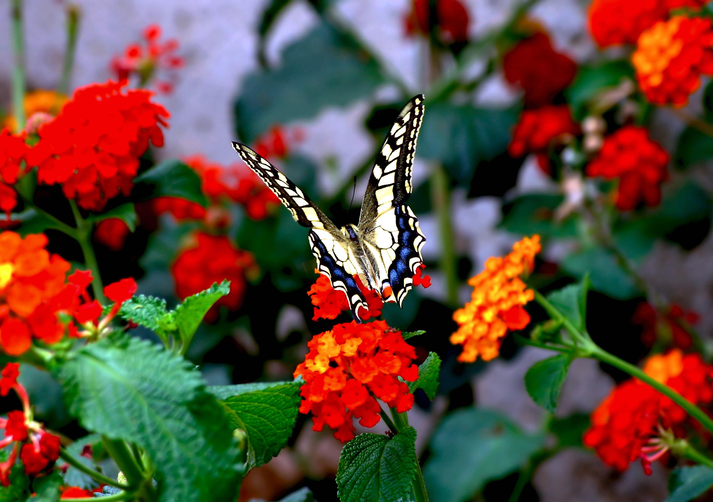 butterfly lantana flowers wallpaper | download cool hd wallpapers here.