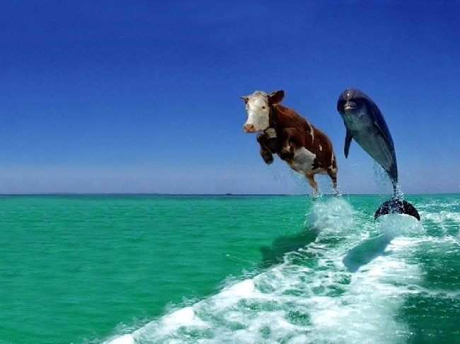 Funny Cow Dolphin Wallpaper Download cool HD wallpapers here