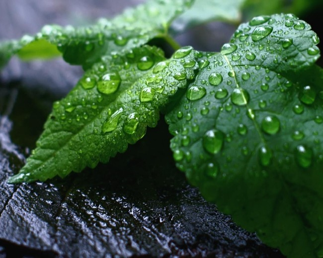 Mint Leaves Wallpaper Download Cool Hd Wallpapers Here