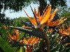 Bird Of Paradise Strelitzia Wallpaper wallpaper