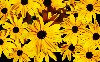 Black Eyed Susan Hd Wallpaper wallpaper