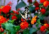 Butterfly Lantana Flowers Wallpaper wallpaper