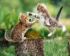 Funny Playing Kittens Wallpaper wallpaper