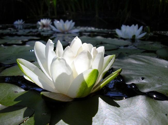 white lotus elegant flower wallpaper download cool hd wallpapers here