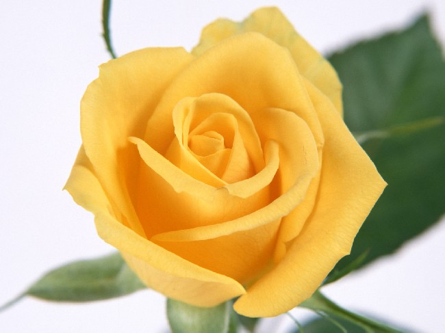 Yellow Rose Wallpaper Download Cool Hd Wallpapers Here